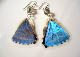 Blue Morpho, Real Butterfly Earrings