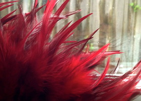 30 Ruby Red Feathers for Crafts, Making Earrings, Scrap booking, Hair Clips, Headbands, Weddings... FREEBIES!