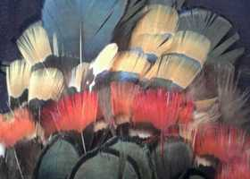 50 Lady Amherst Pheasant Feathers 2 to 4""